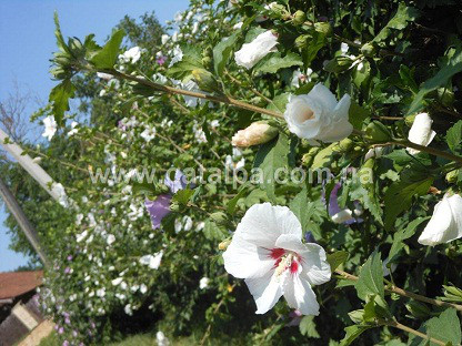 Гибискус сирийский, Hibiscus syriacus, 70 см