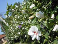Гибискус сирийский, Hibiscus syriacus, 80 см