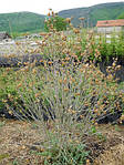Гибискус сирийский, Hibiscus syriacus, 70 см, фото 2