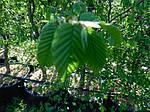Граб обыкновенный, Carpinus betulus, 120 см, фото 2