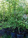Граб обыкновенный, Carpinus betulus, 120 см, фото 3