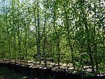 Граб обыкновенный, Carpinus betulus, 120 см, фото 4