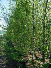 Граб обыкновенный, Carpinus betulus, 120 см