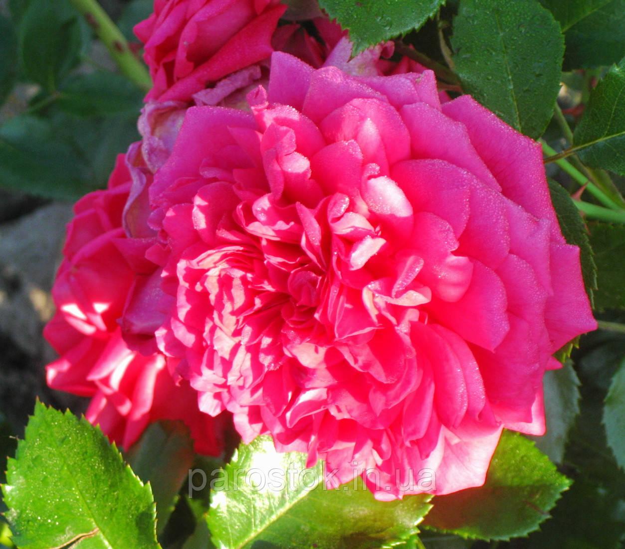 Роза Лагуна. Плетистая роза.