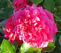 Роза Лагуна. (в). Плетистая роза