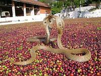 Выращенный в тени индийский кофе