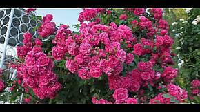Роза Лагуна (Laguna) Плетистая, фото 2