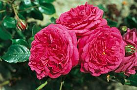 Роза Лагуна (Laguna) Плетистая, фото 3