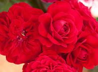 Роза Мона Лиза. Красная флорибунда.