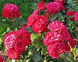 Роза Мона Лиза. (ввв). Красная флорибунда., фото 2