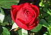 Роза Травиата. Чайно-гибридная роза.