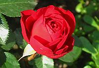 Роза Травиата. Чайно-гибридная роза.  , фото 1