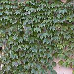 Виноград триостренный, Parthenocissus tricuspidata 'Veitchii', 50 см, фото 3