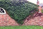 Виноград триостренный, Parthenocissus tricuspidata 'Veitchii', 50 см, фото 4