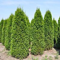 Туя западная Смарагд, Thuja occidentalis 'Smaragd', 60 см