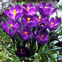 Луковицы крокуса Флауер Рекорд (Flower Record)