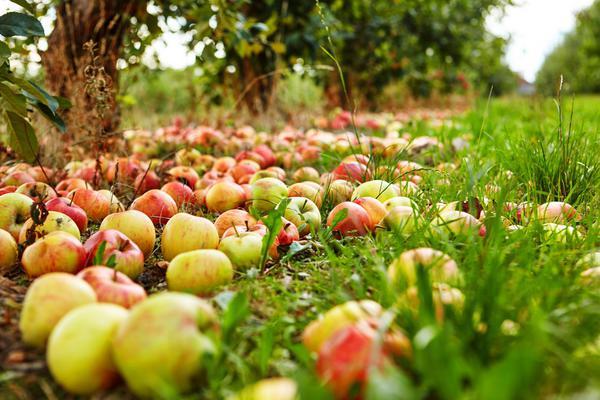 Українські садівники цього сезону зберуть на 10% більше яблук