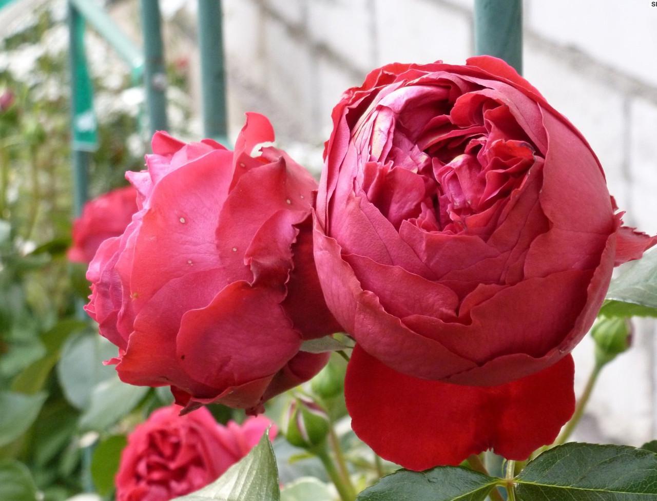Роза Ред Эден (Red Eden) Шраб
