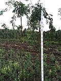 Горобина плакуча, фото 2