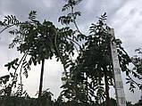 Горобина плакуча, фото 3