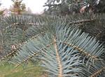 Ялиця одноколірна, Пихта одноцветная, Abies concolor, 100см, фото 2