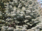 Ялиця одноколірна, Пихта одноцветная, Abies concolor, 100см, фото 4