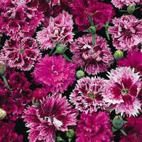 ГВОЗДИКА КИТАЙСКАЯ (15 семян), фото 1