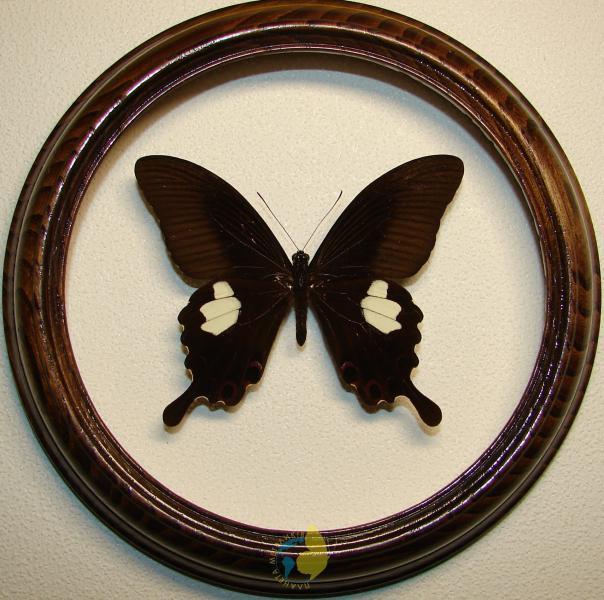 Сувенир - Бабочка в рамке Papilio sataspes. Оригинальный и неповторимый подарок!