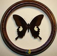 Сувенир - Бабочка в рамке Papilio sataspes. Оригинальный и неповторимый подарок!, фото 1
