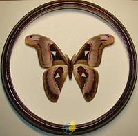 Сувенир - Бабочка в рамке Attacus lorquini m. Оригинальный и неповторимый подарок!, фото 1