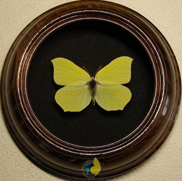 Сувенир - Бабочка в рамке Gonepteryx rhamni. Оригинальный и неповторимый подарок!