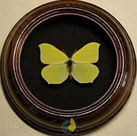 Сувенир - Бабочка в рамке Gonepteryx rhamni. Оригинальный и неповторимый подарок!, фото 1