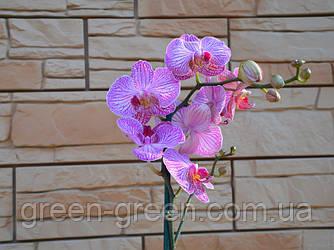 Орхидея Фаленопсис розовая с прожилкой