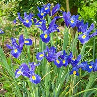 Луковицы Ириса Блу Меджик (Blue Magic)