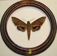 Сувенир - Бабочка в рамке Pachylioides resumens. Оригинальный и неповторимый подарок!, фото 1