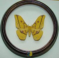 Сувенир - Бабочка в рамке Gonimbrasia krucki. Оригинальный и неповторимый подарок!, фото 1