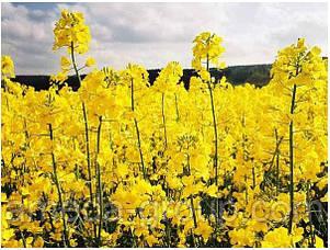 Горчица желтая сидерат, фото 2