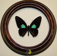 Сувенир - Бабочка в рамке Parides sesostris. Оригинальный и неповторимый подарок!