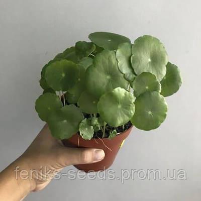 Готу Кола (Центелла Азиатская) — растение 1 узел (1-3 листа)