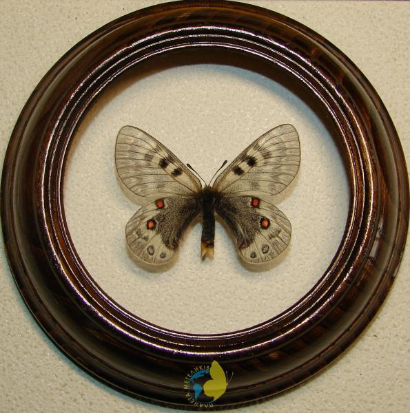 Сувенир - Бабочка в рамке Parnassius staudingeri. Оригинальный и неповторимый подарок!