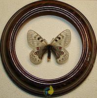 Сувенир - Бабочка в рамке Parnassius staudingeri. Оригинальный и неповторимый подарок!, фото 1