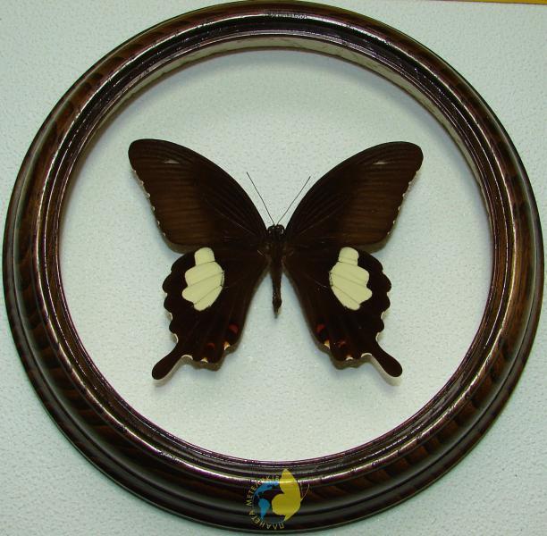 Сувенир - Бабочка в рамке Papilio helenus m. Оригинальный и неповторимый подарок!