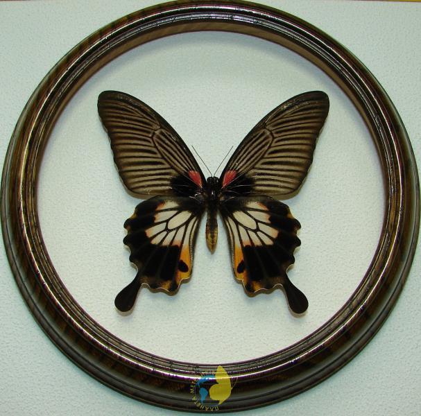 Сувенир - Бабочка в рамке Papilio memnon f. Оригинальный и неповторимый подарок!