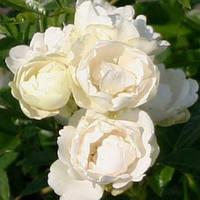 Роза полиантовая Морсдаг Уайт / Morsdag White(контейнер 4л, размер растения см)