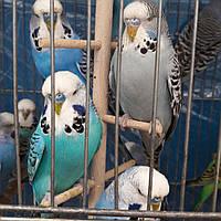 Выстовочный волнистый попугай
