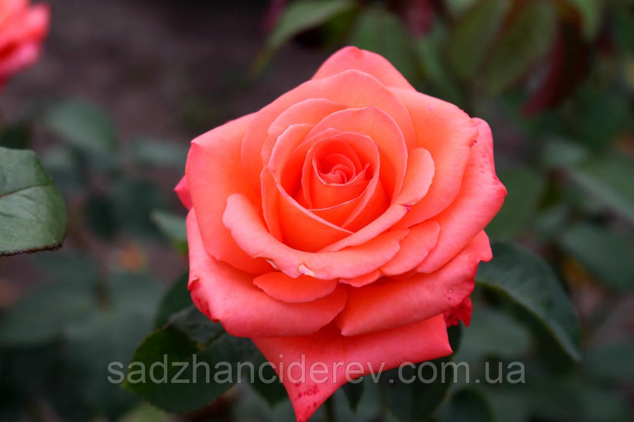 Саджанці троянд Фольклор (Folklore)