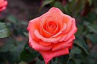 Саджанці троянд Фольклор (Folklore), фото 1