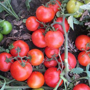 Насіння томату Асвон F1 (10 000 сем. ) Kitano