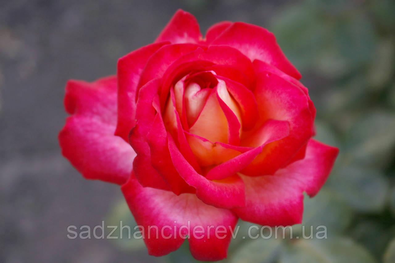 Саджанці троянд Павине око (Peacock Eye, Павлинный глаз)