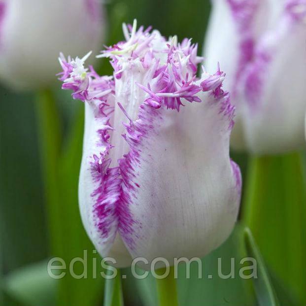 Тюльпан бахромчатый Ариа Кардс